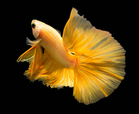 siamese fighting fish: siamese fighting fish isolated on black background. Stock Photo