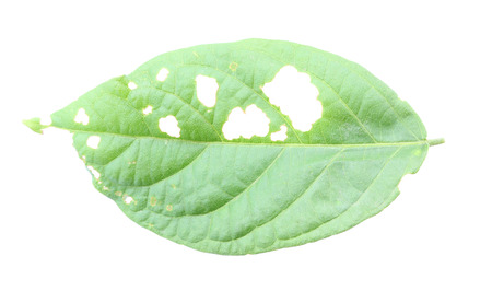 Leaf with holes, eaten by pests. photo