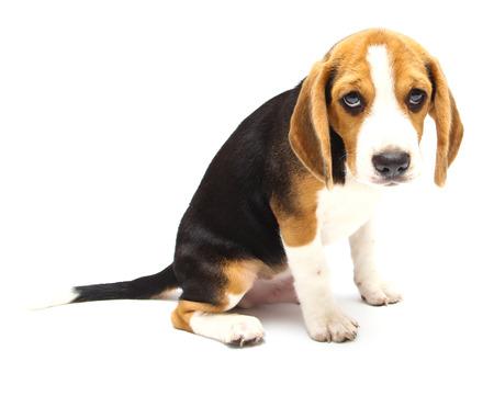 Beagle dog isolated on white background photo