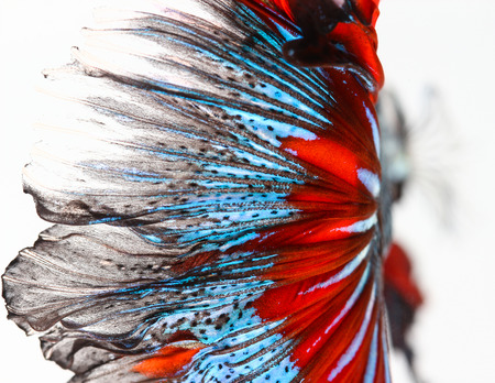 Texture of tail siamese fighting fish photo