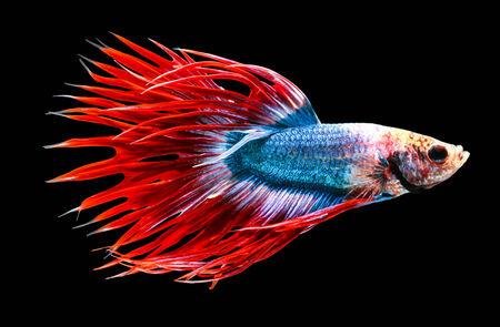 pez pecera: pescados que luchan siameses aislado en el fondo negro.