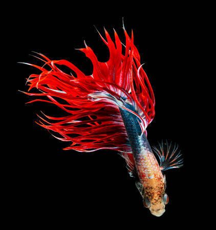 crown tail: siamese fighting fish isolated on black background. Stock Photo