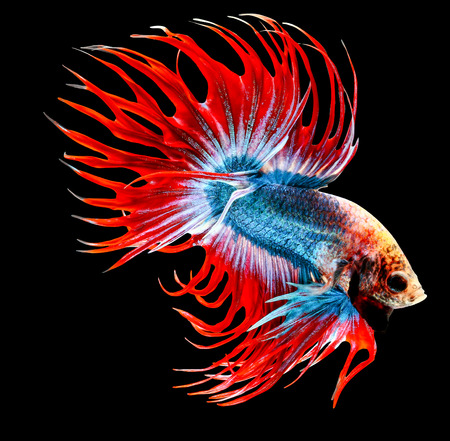 siamese: siamese fighting fish isolated on black background. Stock Photo