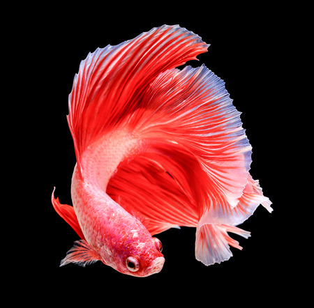 siamese fighting fish isolated on black background. Banque d'images