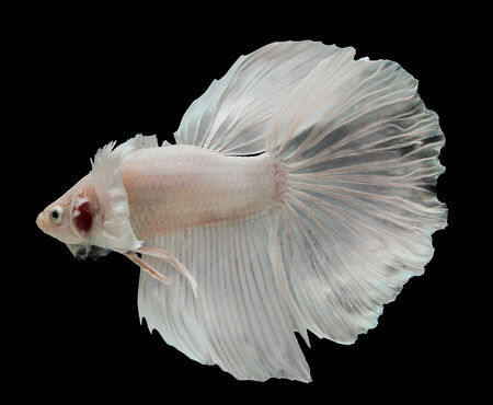 Betta big ear isolated on black background. photo