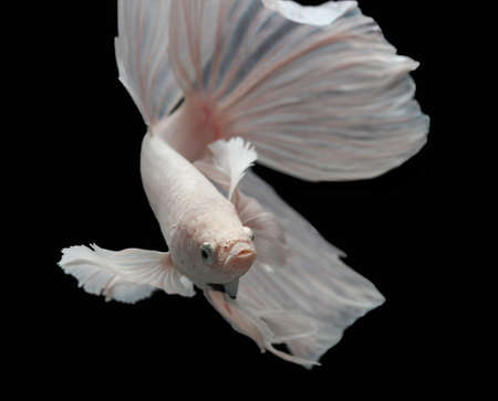 siamese fighting fish: Betta big ear isolated on black background.