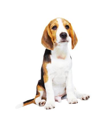 Beagle dog isolated on white backgrond photo