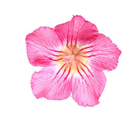 Desert rose on isolated white background. photo