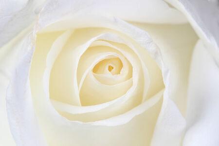 Beautiful white  rose close up