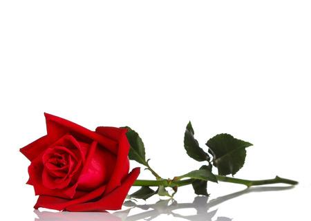 rot: einzelne rote Rose, isoliert auf weißem Hintergrund