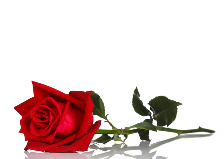 love rose: single red rose, isolated on white background