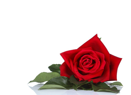single red rose, isolated on white background