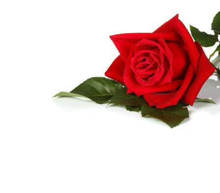 単一の赤いバラ、白い背景で隔離