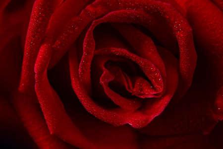Beautiful red rose close up photo