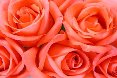 rosas naranjas: Rosas anaranjadas hermosas de cerca