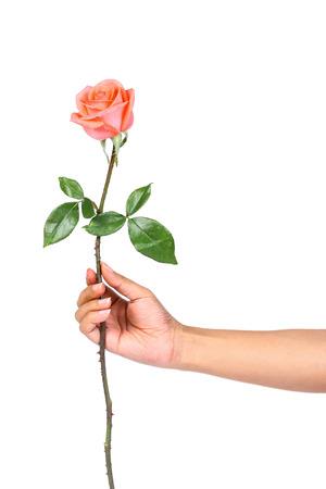 rosas naranjas: Mano que sostiene rosas naranjas aislar en blanco