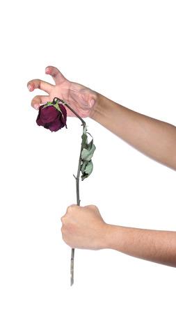 手の保有物は、白い背景に白いバラを乾燥させます。