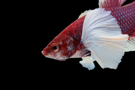 big ear: Betta big ear isolated on white background. Stock Photo