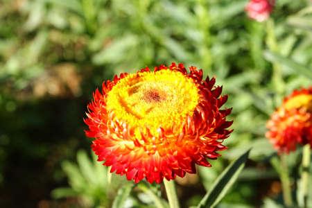 everlasting: Everlasting or straw flower Stock Photo
