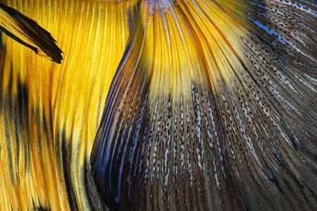 betta splendens: Texture of tail siamese fighting fish (Betta Splendens)