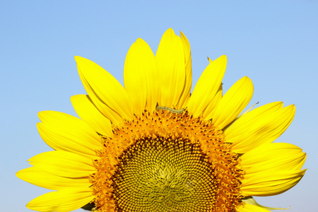 sunflower oil: big sunflowers against the sky