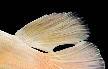 fish tail: Texture of siamese fighting fish tail