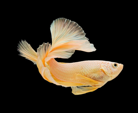 siamese fighting fish , betta isolated on black background. photo