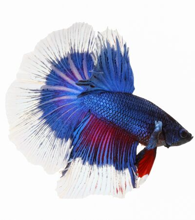 Betta fish, siamese fighting fish, betta splendens isolated on white background photo