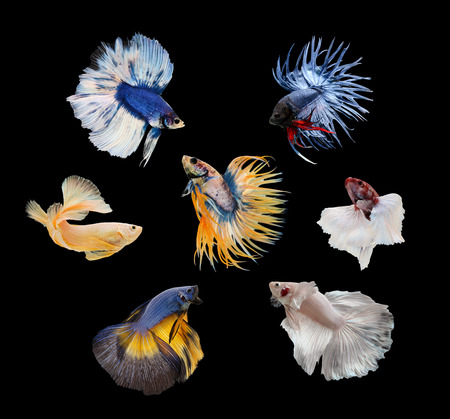 Betta fish, siamese fighting fish, betta splendens isolated on black background photo