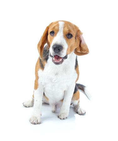 ビーグル犬白で隔離 写真素材