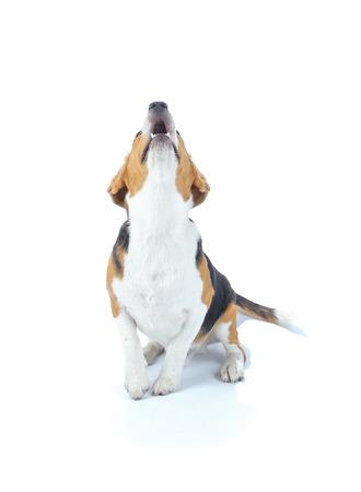 Beagle dog isolated on white photo