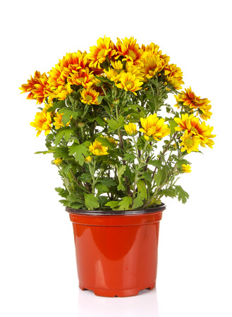 auburn: yellow vibrant auburn Chrysanthemums bouquet suited as background Stock Photo