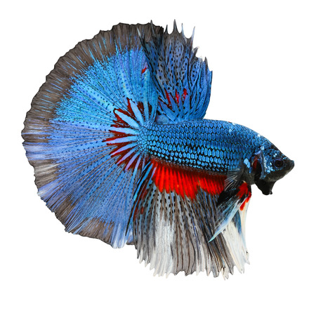 Betta fish, siamese fighting fish, betta splendens isolated on white background