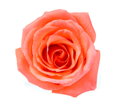 orange yellow: Orange rose isolated on white background Stock Photo
