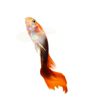 poecilia: Guppy fish isolated on white background (Poecilia reticulata)