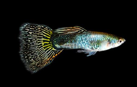 poecilia reticulata: Guppy fish isolated on black background (Poecilia reticulata)