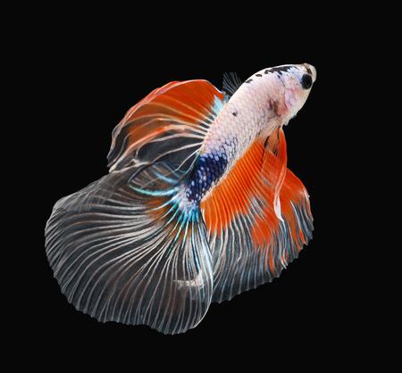 Betta Fisch, Siamesische Kampffische, Betta splendens (Halfmoon Betta) auf schwarzem Hintergrund isoliert Standard-Bild - 40166085