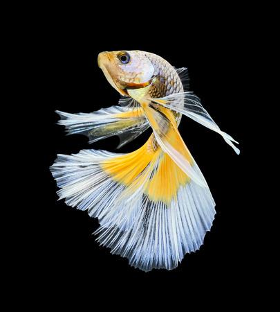 Betta vissen, siamese het vechten vissen, betta splendens (Halfmoon betta) geïsoleerd op een zwarte achtergrond Stockfoto