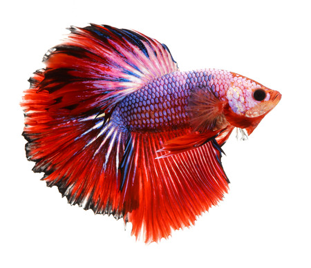 dragon fish: Betta fish, siamese fighting fish, betta splendens isolated on white background