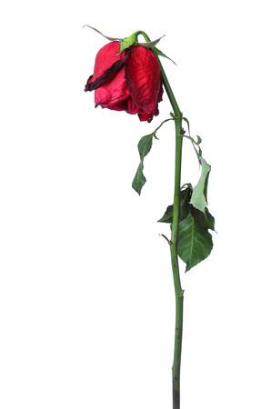 白地に赤いバラを乾燥させます。 写真素材