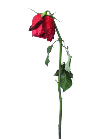 faded: Dried Red roses on a white background. Stock Photo