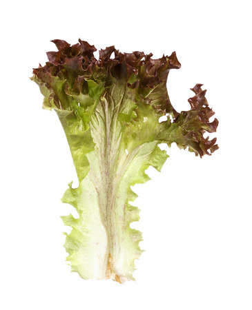 lactuca: Green leaves lettuce (Lactuca sativa L.)   on white background