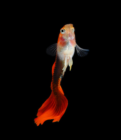 guppy: Guppy fish isolated on black background (Poecilia reticulata)