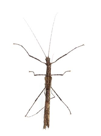 night stick: Walking stick Insect male and female isolate on white background ,Thailand