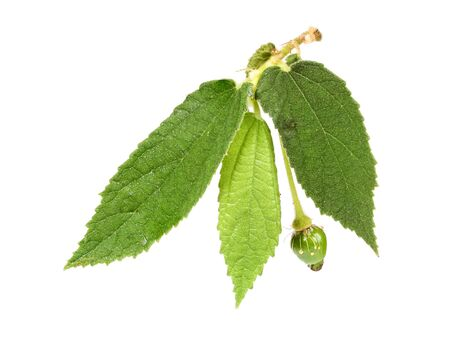 indica: Takhop pak (thai name), Governors plum (Flacourtia indica (Burm.f.) Merr.) Stock Photo
