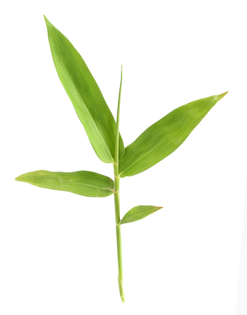green bamboo: bamboo leaf isolate on white