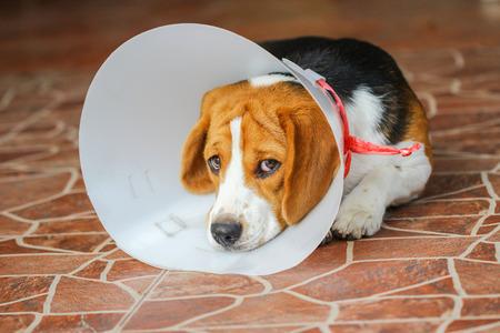 enfermos: Perro enfermo vistiendo un collar de embudo