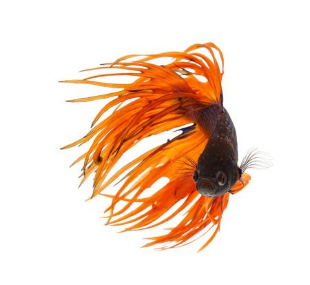 Betta fish, siamese fighting fish, betta splendens (Crown Tail) isolated on white background Standard-Bild