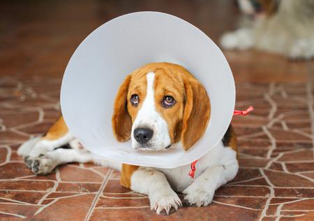 目標到達プロセスの首輪を身に着けている病気の犬