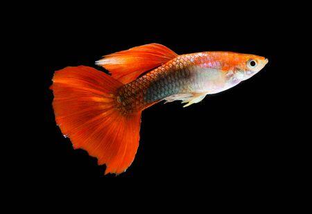 poecilia: Guppy fish isolated on black background (Poecilia reticulata)